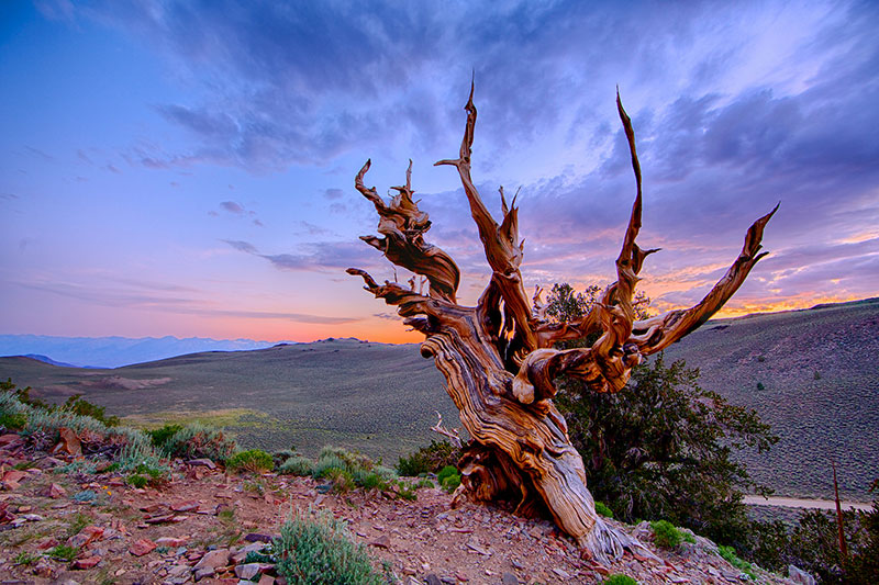 Bristlecone Pine: Methuselah and Prometheus