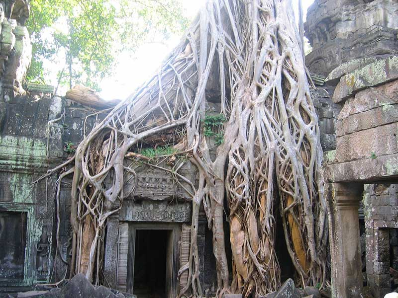 Banyan Tree: Sri Maha Bodhi Tree