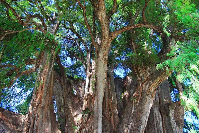 Montezuma Cypress: The Tule Tree