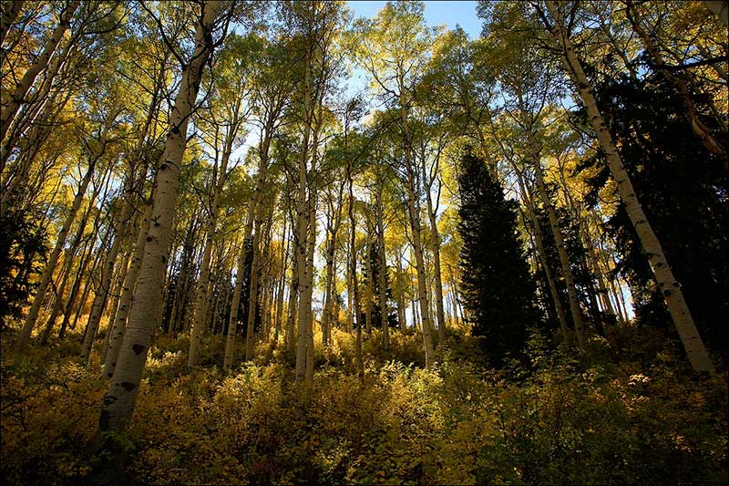 Quaking Aspen: Pando (The Trembling Giant)