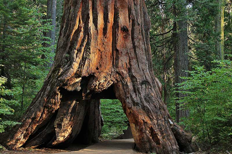 Coast Redwood: Hyperion and Drive-Thru Trees